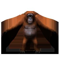 orangutan sm